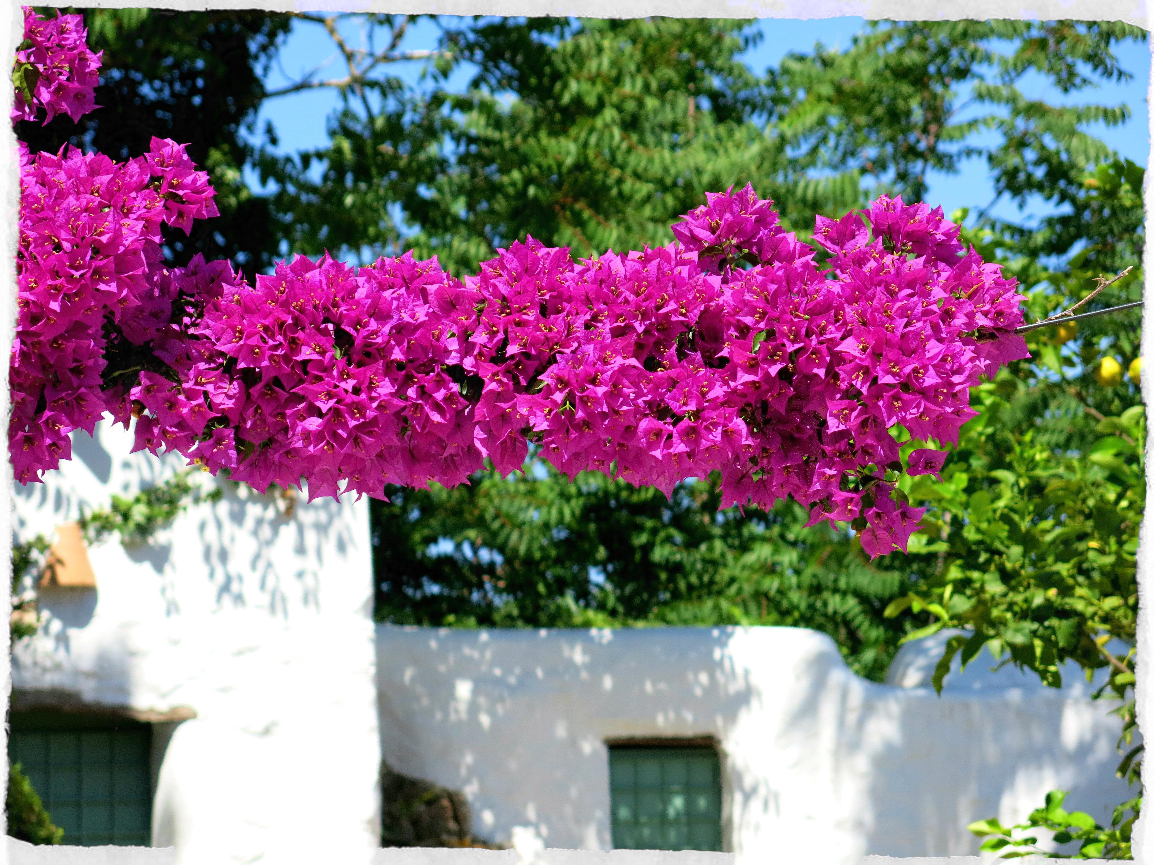 Ibiza-Flowers