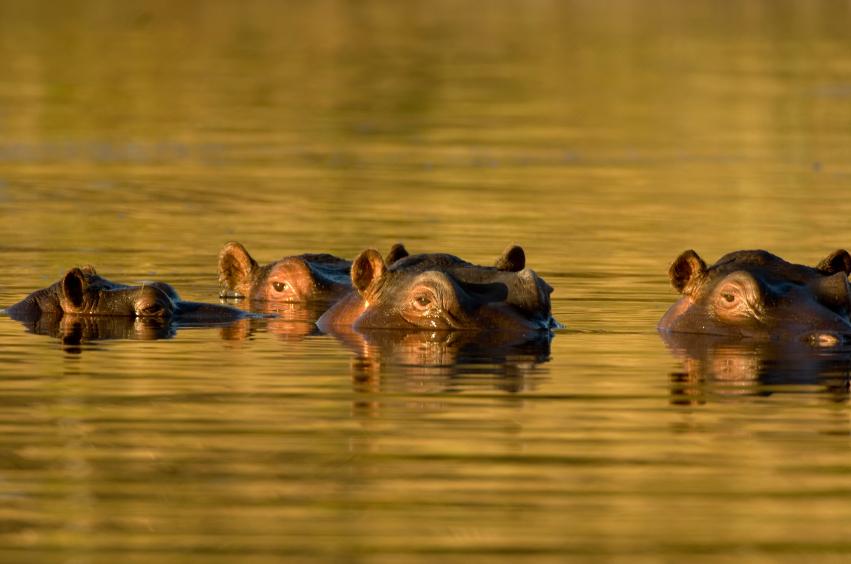 Nilpferde-Afrika