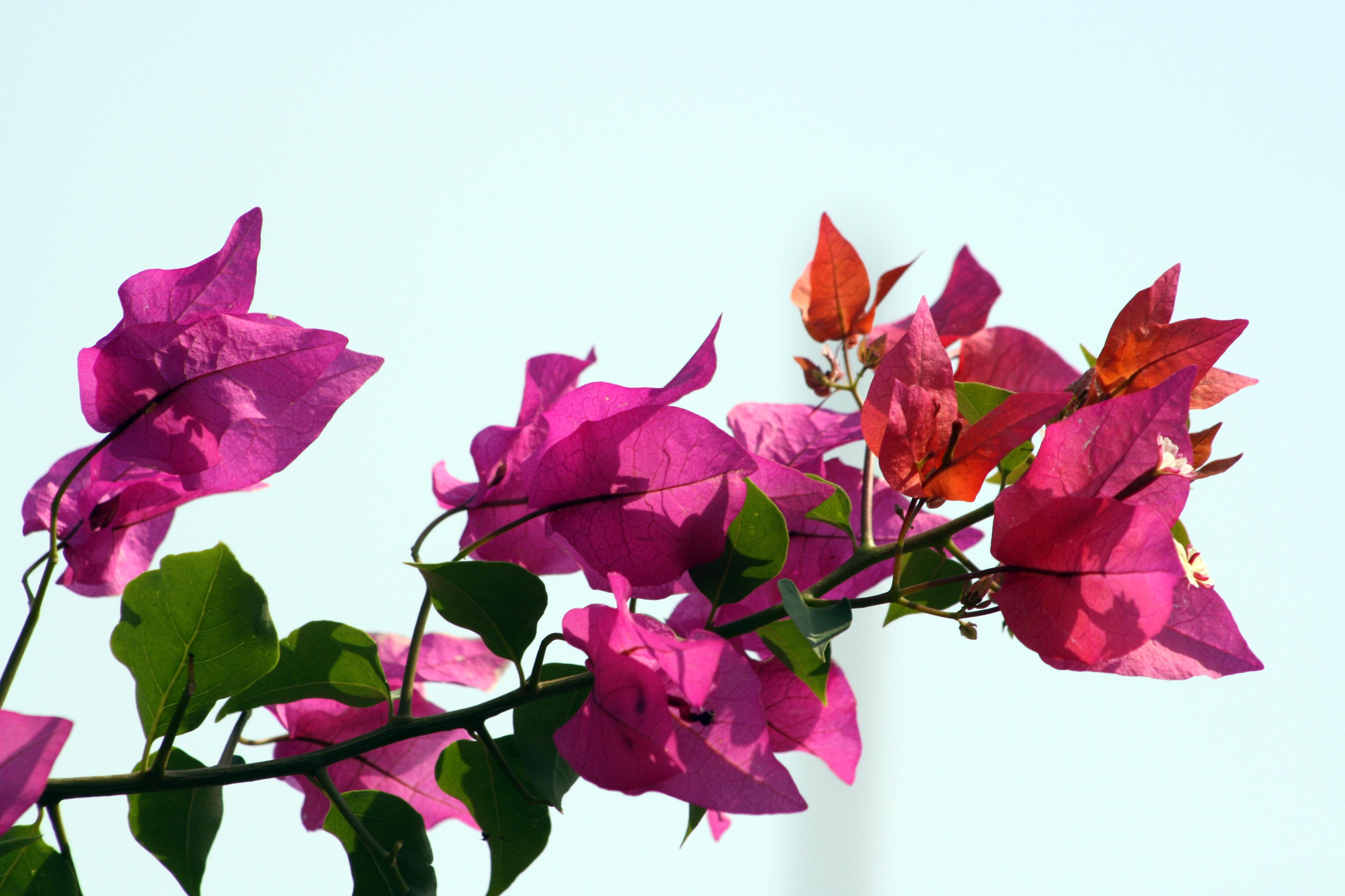 Buntes Indien-Blüte