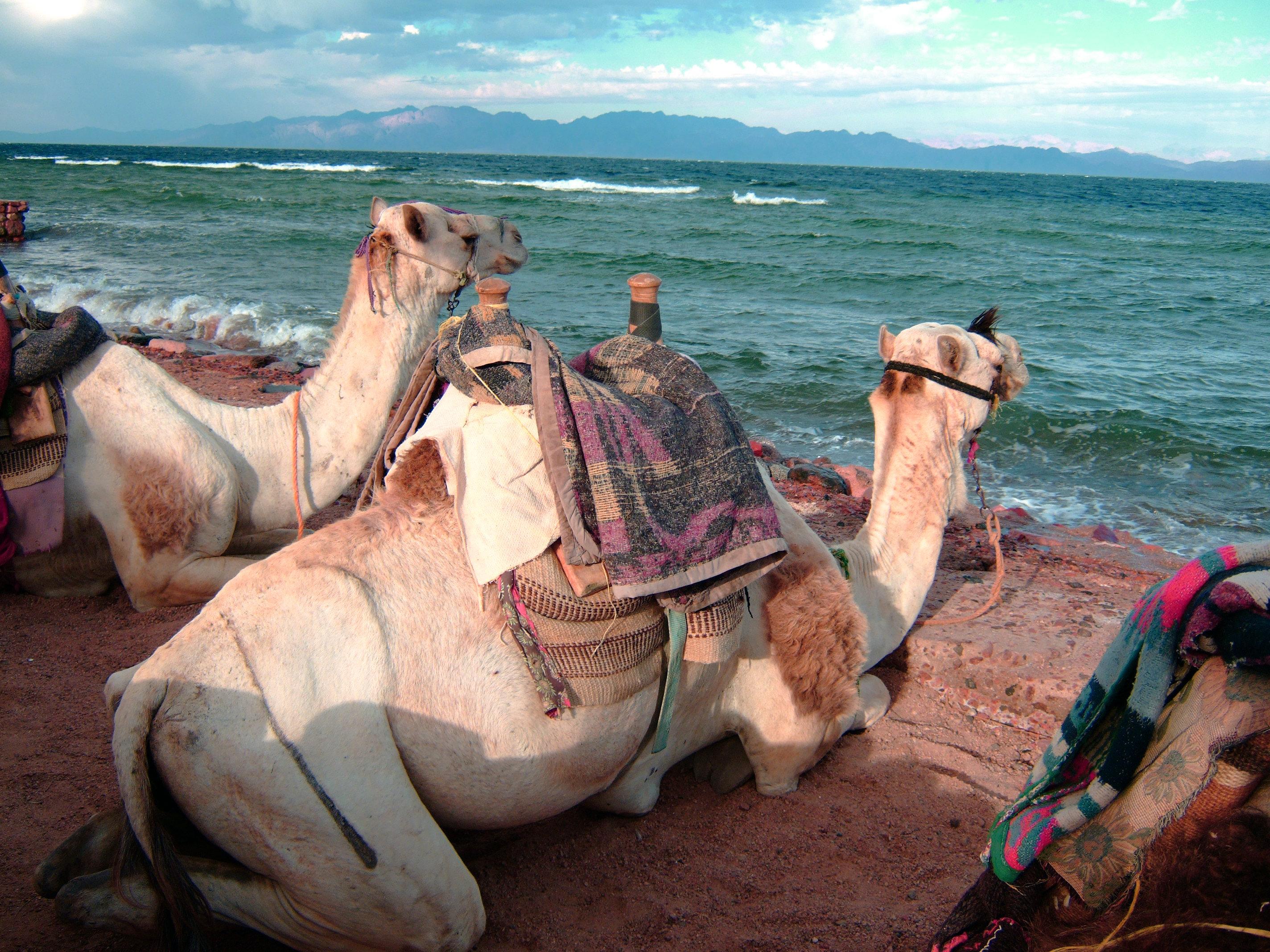 Dahab-Camels