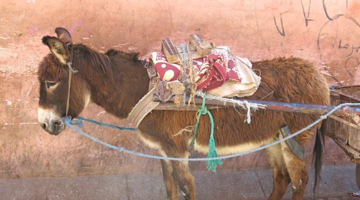Marokko Roadtrip Esel