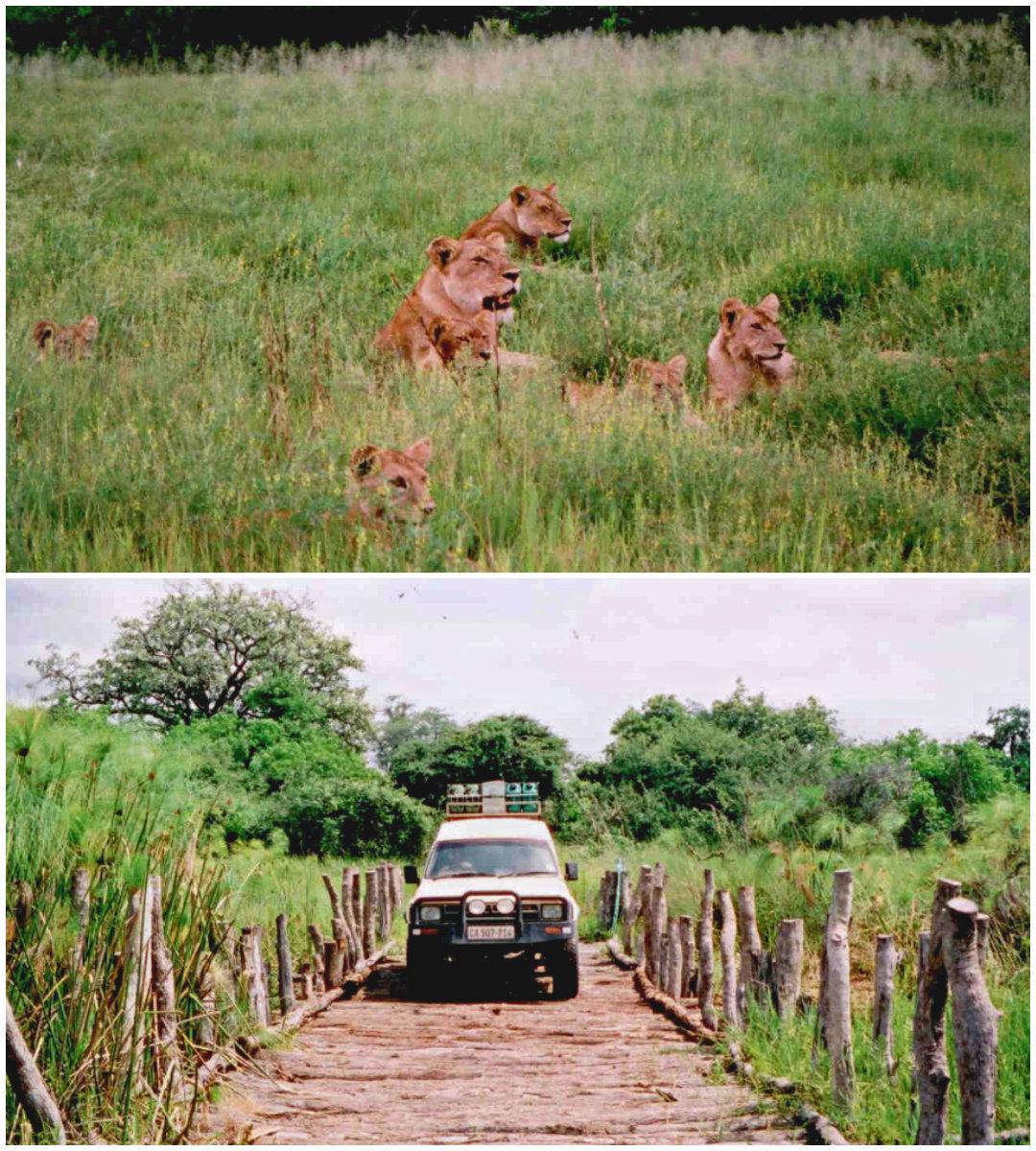 Löwen-Crocidele-Bridege-Botswana