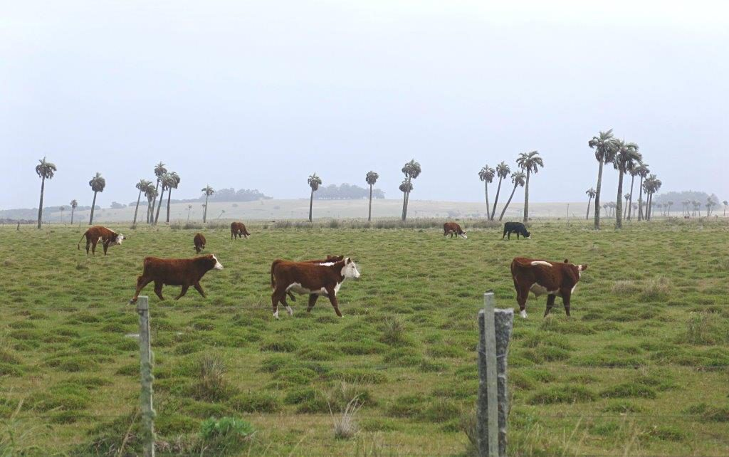 Uruguay-Reise-Kühe-Rocha