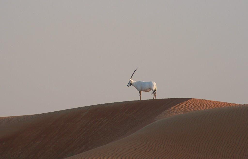 Dubai-mit-Kind-Wüste-Oryx