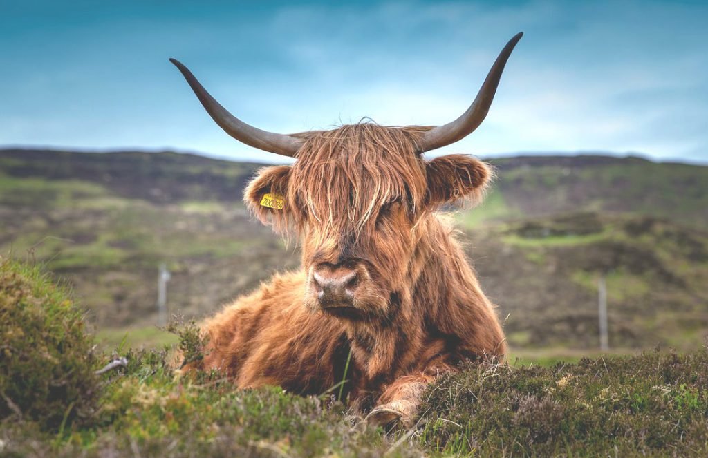 highland-cow-inverness-copyright-pixabay