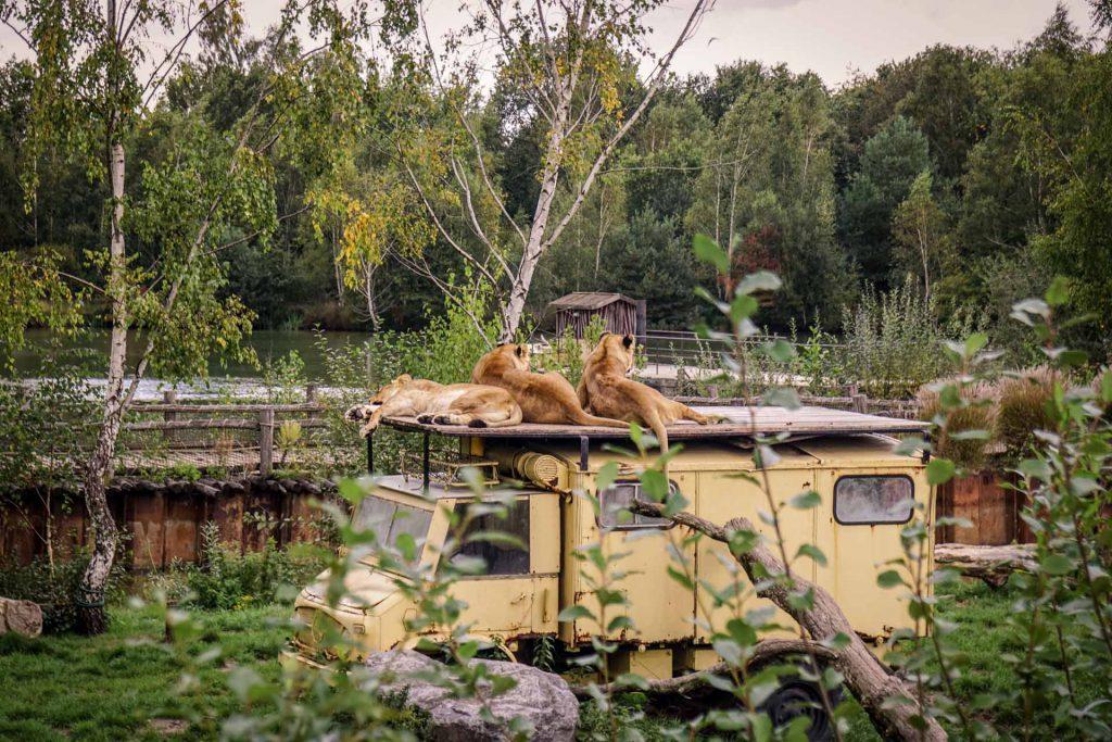 Safaripark Beekse Bergen Löwen auf Unimog