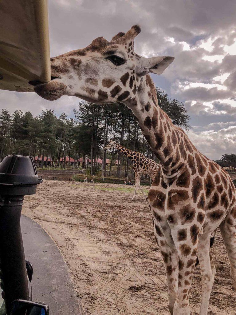 Safaripark Beekse Bergen Giraffe leckt an Auto