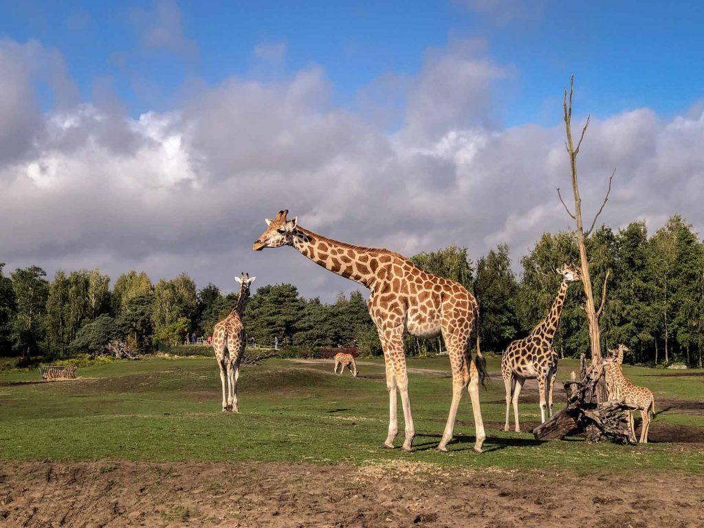 Safaripark Beekse Bergen Giraffen